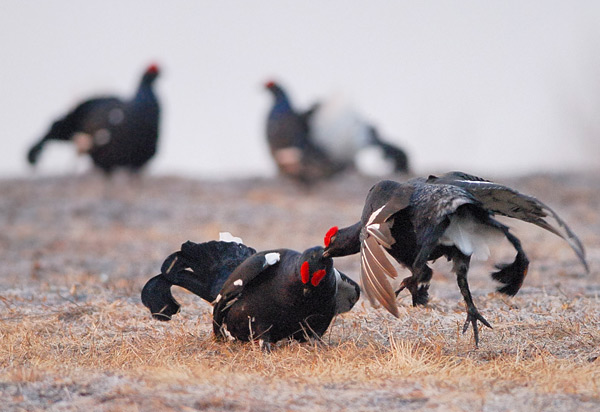 Птицы на току